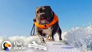 Deaf Pittie Rescued From Dogfighting Becomes Obsessed With Surfing | The Dodo Pittie Nation