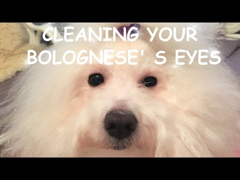HOW TO CLEAN your Bolognese EYES  - Bellissibolo Bolognese