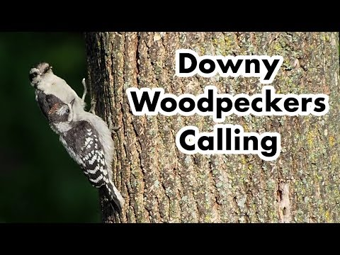 Downy Woodpecker Call