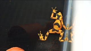 Для чего индейцы использовали токсичных жаб?