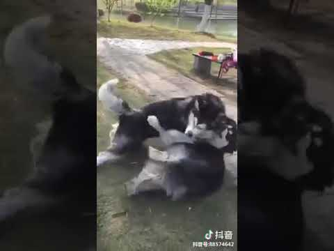 Dog Series: When 2 Husky fight