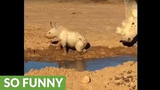Tiny baby rhino plays in the mud