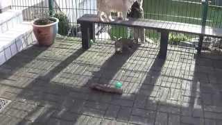 Cairn Terrier Welpen Vom Farbenspiel 17.1.2015 ( 2. Teil )/ Cairn Terrier Puppy