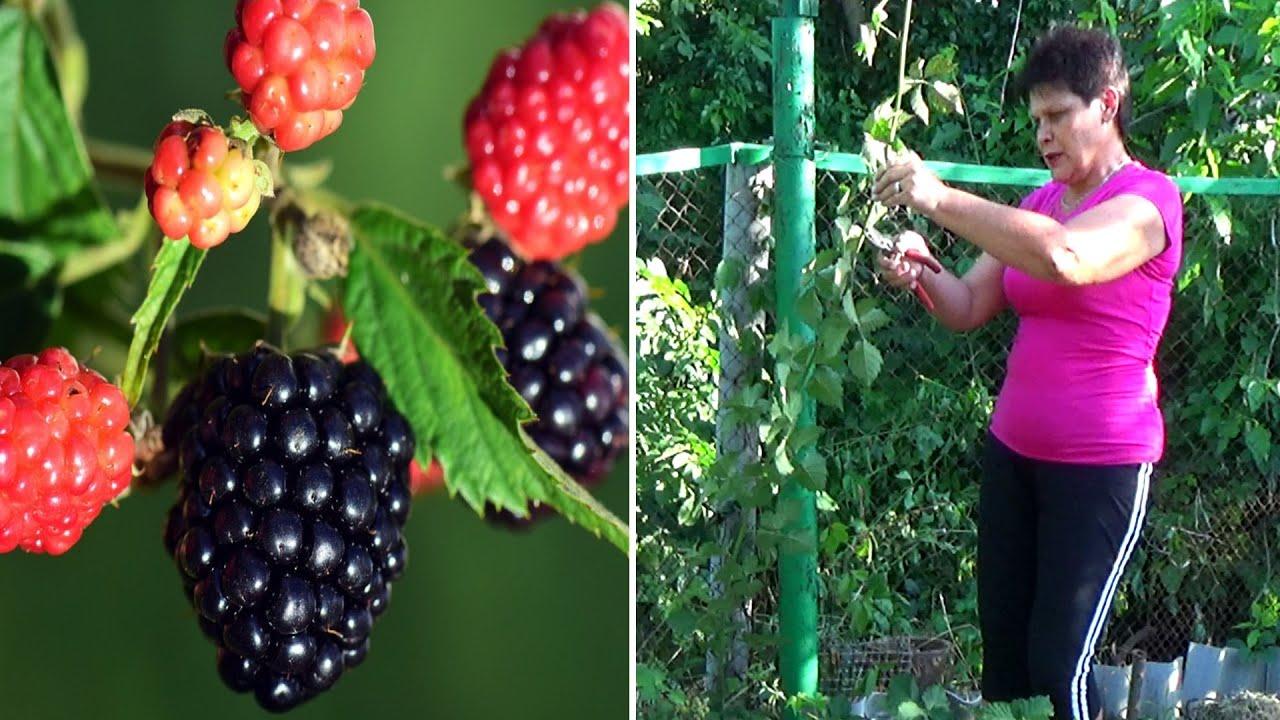 Что делать с ежевикой  для хорошего урожая в этом  и следующем году