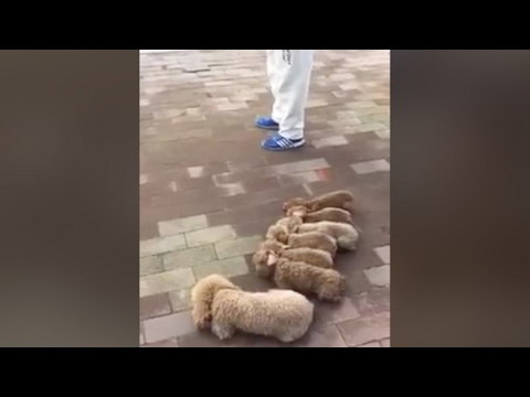 Amateur video: Man walking dogs goes viral on Chinese internet