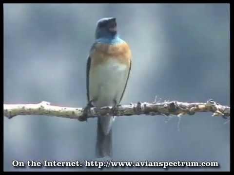 A Live Action Video Portfolio of North American Birds: Intro Volume 10