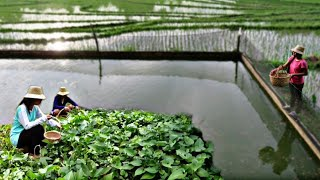 Feeding Water Spinach To Our 3,000 Giant Tilapia & Cooking Shrimp Sinigang & Adobo For Lunch