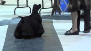 American Cocker Spaniel (black)