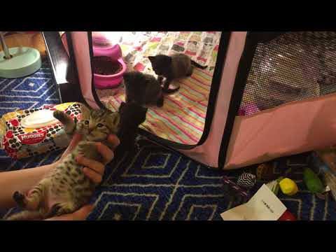 Kittens First Toys! Amazon Wishes and Playpen Upgrade!
