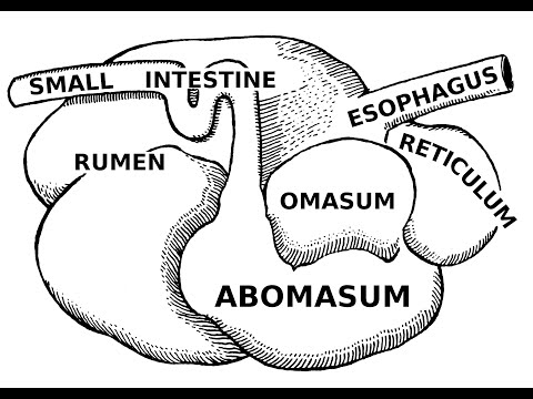 Digestive Systems of Livestock: Anatomy