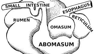 Digestive Systems of Livestock: Anatomy