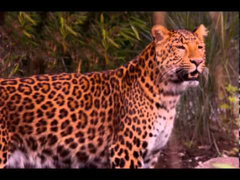 Leopard Facts - Facts About Leopards