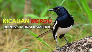 Download Lagu Kicauan Merdu Burung Murai Kampung mp3