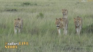 Lion coalitions of the Maasai Mara