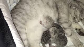 Новорожденные шотландские котята борются за мамочкино молочко