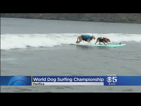 Man's Best Friend Hanging Ten At Surfing Competition In Pacifica