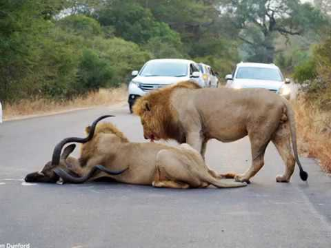 South African lions eat poacher leaving just his head in Kruger National Park