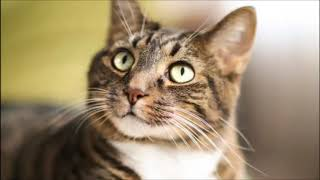 Download Mp3 Suara Kucing