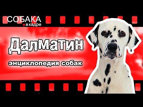 Далматинец (Далматин). Энциклопедия собак.