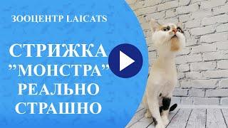 Как выглядит стрижка кошек с капризным характером?