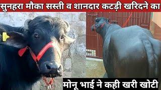 मात्र 30 हजार में 14 किलों दूध,युवा पशु चिकित्सक Dr.Monu की Two #Beautiful_Murrah_Heifairs for sale