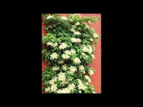 Цветок Лиана Фото