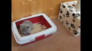 Британский котенок учится ходить в туалет