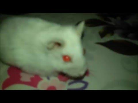 Meet my hamster Vampee