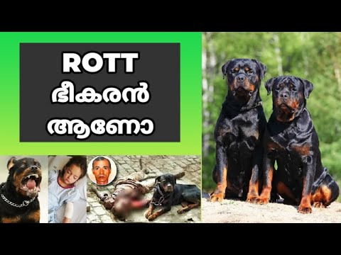 😵😵 റോട്ട് ഭീകരനോ? Rottweiler Dangerous? Reasons : Rottweiler Facts : laze media : dog training