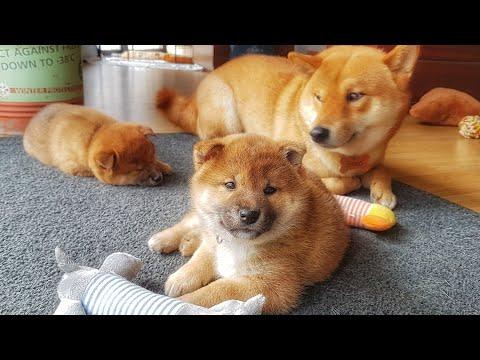 My life is potato. Ep 17 / Shiba Inu puppies