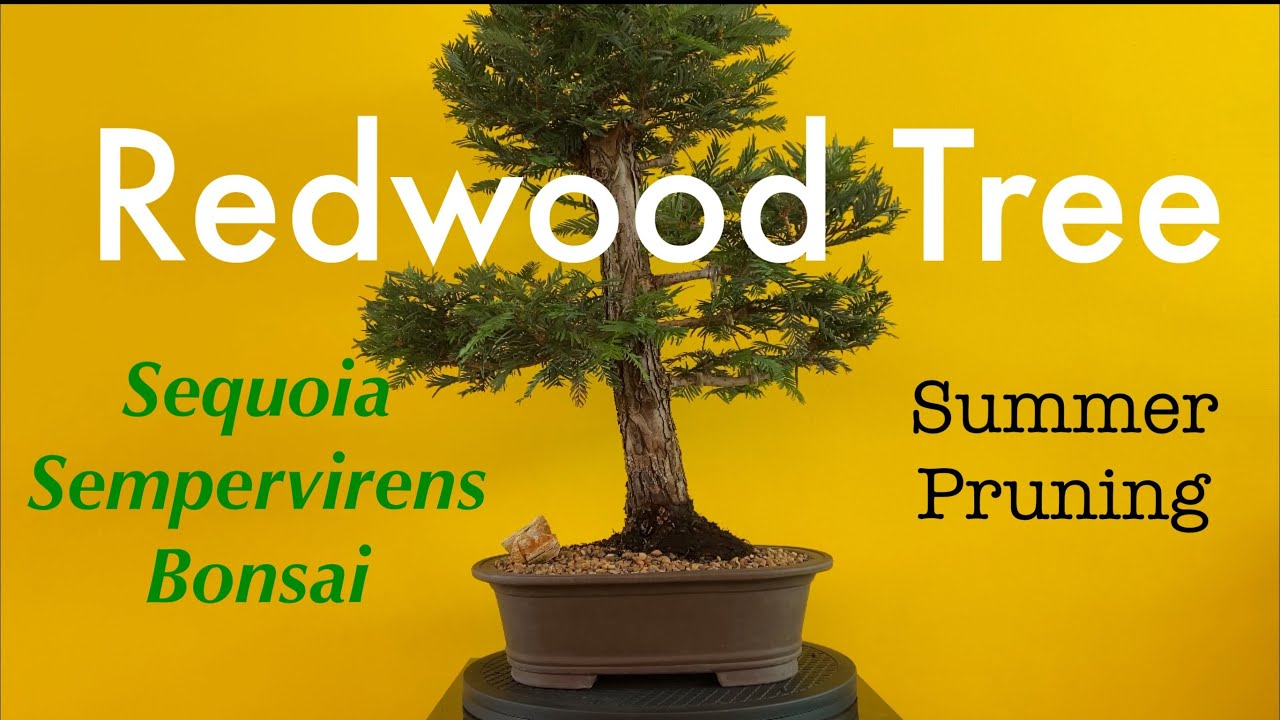 Coast Redwood Tree Bonsai Sequoia Sempervirens Summer Pruning June 2020 Youtube