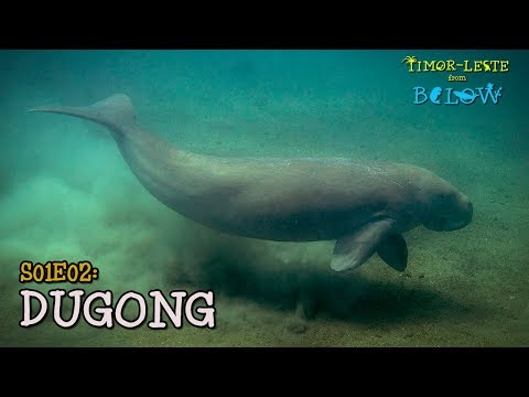 Dili and the Dugong: Search for the Siren Sea Cow | Timor-Leste from Below (S01E02) | SZtv