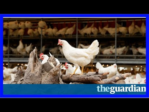 One step beyond organic or free-range: dutch farmer's chickens lay carbon-neutral eggs