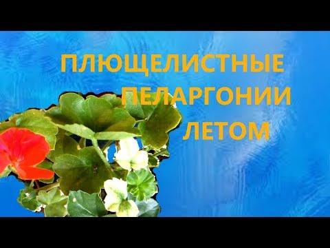 Плющелистные пеларгонии летом: белые листья