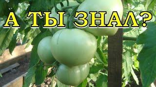 видео Чтобы томаты быстрее созревали,  несем в теплицу бананы
