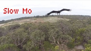 (Slow-Mo) 2m Wedge-Tailed Eagle takes down Drone - Australia (Eagle is Fine)