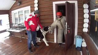 Алабай обнаружил присутствие чужого человека на территории. Дрессировка собак  тел: 8-915-352-38-66