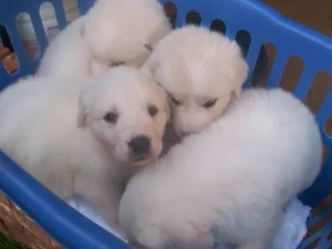 Great Pyrenees / Anatolian Shepherd puppies for sale: Livestock Guardian Dogs