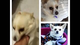 Berkeley College 2 Year Old Corgi Pomeranian Mix For Adoption