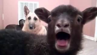 Cabra dizendo YEAHHH