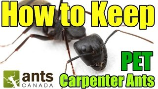Most people in the world are looking for ways to kill carpneter ants. We ant keepers find them to be amazing pets to keep! This video is a tutorial on how to care ...