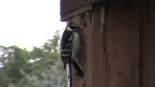 Woodpecker pecking down my house one peck at a time!!