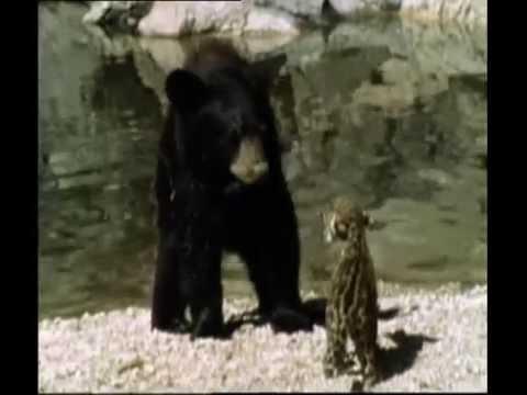 Jaguar Cub Vs Black Be...