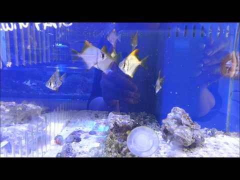 Mono Fish Aka Mono Argentus