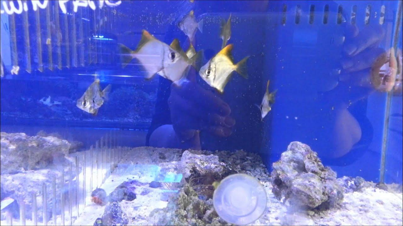 mono fish aka mono argentus youtube