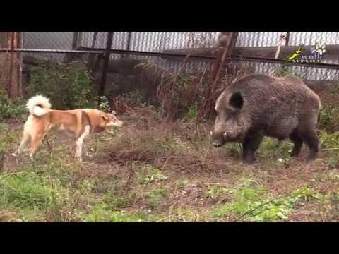 Вопрос: Какая собака лучшая для охоты на кабана?