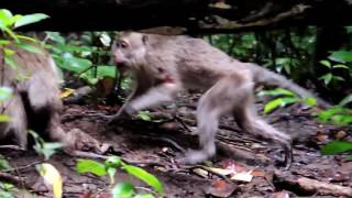 Infanticide in Long tail Macaque