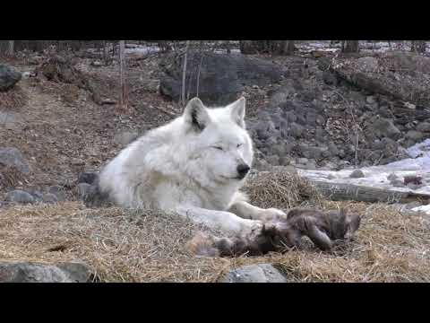 International Wolf Center- Ice Chunks and Snowshoe Hare - 20 April 2018