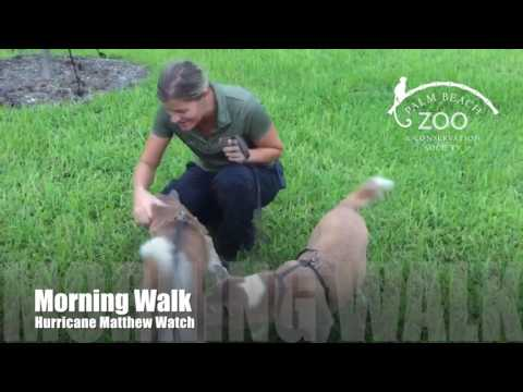 Morning Walk with New Guinea singing dogs