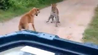 Dog wins over leopard